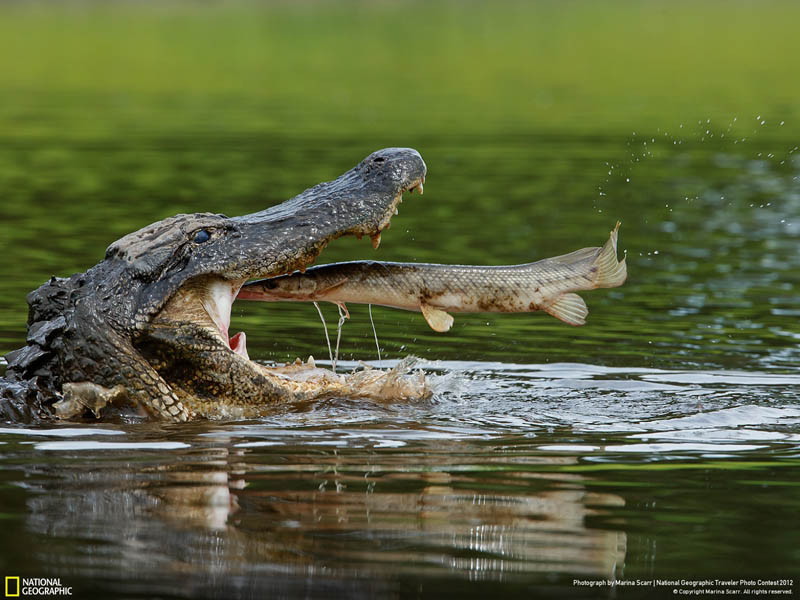 alligator-about-to-eat-a-fish-in-perfect-timing.jpg