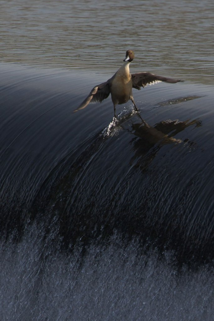 surfing-duck.jpg
